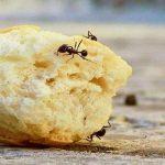 Was hilft gegen Ameisen