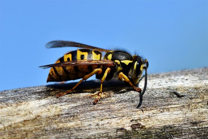 Wespenstich - Wespe